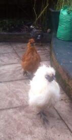 Silkies chicken pair