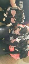 Staffordshire puppies Darley Moorabool Area Preview