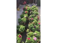 """Stunning """"Filled"""" Hanging Baskets (Double Headed Petunias, Geraniums & Impatiens)"""