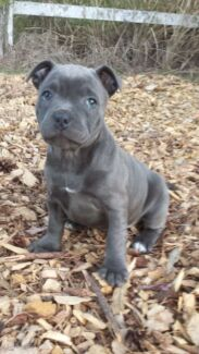 Blue english Staffy puppies for sale Maclean Clarence Valley Preview