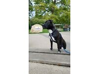 8month old male staffy for sale