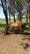 TB Bay Gelding Yamanto Ipswich City Preview