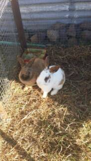 rabbits for sell Glen Innes Glen Innes Area Preview
