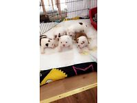Victorian Bulldog Puppies
