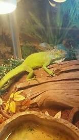 Iguana and full setup