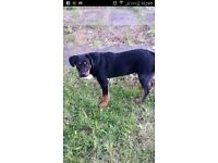 5 month old rotty