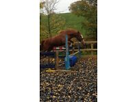 5yr old Chestnut Mare for sale 16hh (approx)