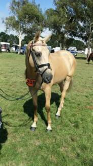 17hh Palomino gelding Batesford Geelong City Preview