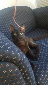 Young Cat Found In Wallsend Wallsend Newcastle Area Preview