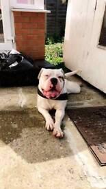 16 month American bulldog