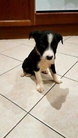 Collie pups
