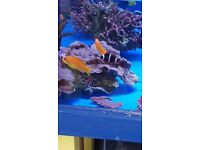 MARINE FISH / LOVELY AND BRIGHT BLUE EYE ANTHIAS. FEEDING WELL