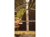 Male and Female Indian Ring-neck parrots with huge cage!!