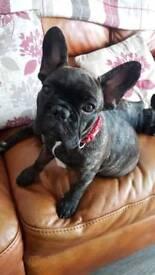 Pick of the Litter French Bulldog Bitch