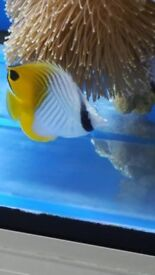 MARINE FISHLOVELY SIZE AND BRIGHT COLOUR THREADFIN BUTTERFLY FISH FEEDING ON ALL FOODS