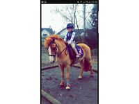 Lead Rein Pony For Sale
