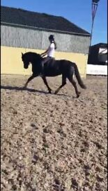 Welsh sec d mare for sale