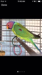 Lost parrot 11/06/2016 Edmonton Cairns City Preview