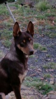PURE BRED BLACK AND TAN KELPIE PUPS Sydney Region Preview