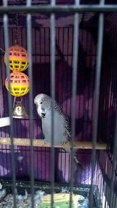 Male blue budgie and cage Brendale Pine Rivers Area Preview