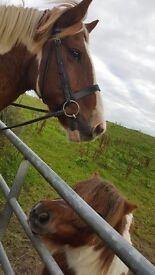 Looking for someone to loan my gelding alternate weekends