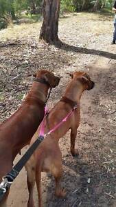 Dog Walker and/or Obedience Training Morphett Vale Morphett Vale Area Preview