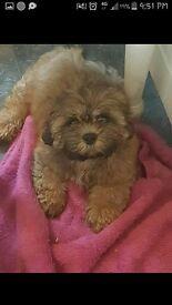 shitzue 12week old pups