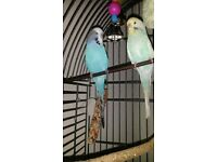 2 adorable budgies male and female 7 months old