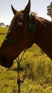 Companion horse, 25yo bay gelding, 6hh Yarra Glen Yarra Ranges Preview