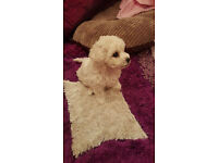 KC registered bichon frise puppys