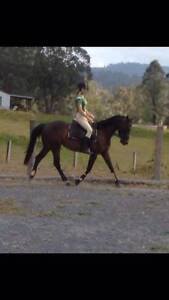 pony club/ allrounder mare Nabiac Great Lakes Area Preview