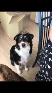 OVLPN - Lost dog in La Peche Masham area
