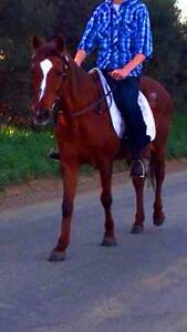 TRINITY: MOTHERS DREAM, BOMBPROOF, 14.2hh, QH BEGINNERS HORSE Koo Wee Rup Cardinia Area Preview