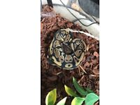Lovely Ball Python for sale!!