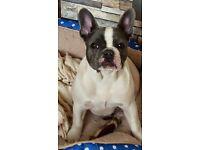 KC Blue French Bulldog Puppies