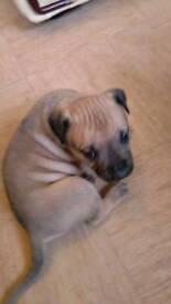 Mastiff x staff for sale