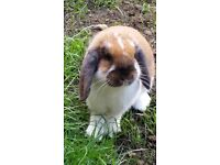 Beautiful Male Rabbit for sale