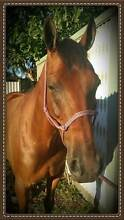 Eventer...Pleasure...Pony Club...All Rounder = Heartbreaking Sale Tamworth 2340 Tamworth City Preview
