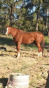 Lovely chestnut tb mare Woongarrah Wyong Area Preview