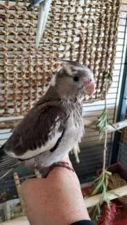 Hand-raised Whiteface Cockatiel/Weero (2) Carramar Wanneroo Area Preview