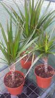 Dragon Tree House Plant 30 To 35 - Cm Potted Plant Dracaena Marginata -  - ebay.co.uk