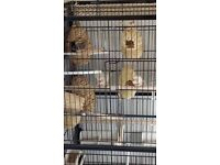Zebra finches, indoor aviary +uv lamp