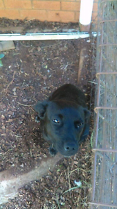 Harlow needs a new home Gympie Gympie Area Preview