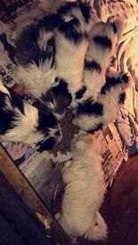 Pure breed shihtzu's 5 boys 1 girl