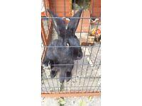8 month old Female Giant Flemish Rabbit