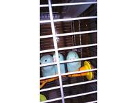 pacific blue parrotlets