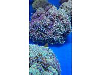 MARINE FISH / I HAVE A FEW VERY BRIGHT XL AUSTRALIAN TORCH CORALS 20 + HEADS