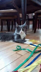 Purebred Import Maine Coon Female (Adult)
