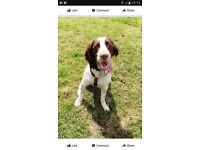 Stolen today. Liver and white English springer spaniel.