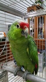 Red lord amazon parrot tame inc cage n toys